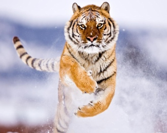 4170431-amur-tiger-in-snow-normal5.4